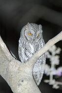 Image of African scops owl