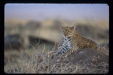 Image of Leopard