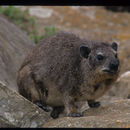 Image of Bush Hyrax