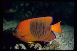 Image of Clarion Angelfish