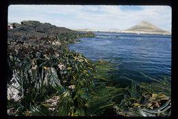 Image of <i>Durvillaea antarctica</i>