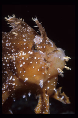 Image of Frogfish