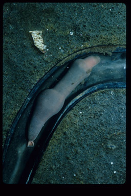 Image of 'penis fish' or 'penis worm'
