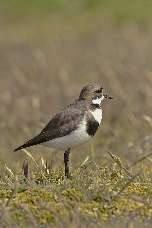 Image of Two-banded Plover