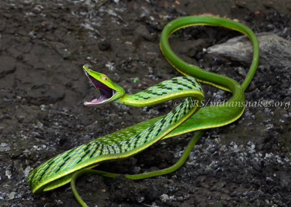 Image of Green Vine Snake