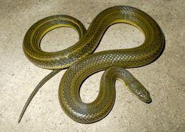 Image of Rainbow Mud Snake