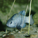 Image of Desert pupfish