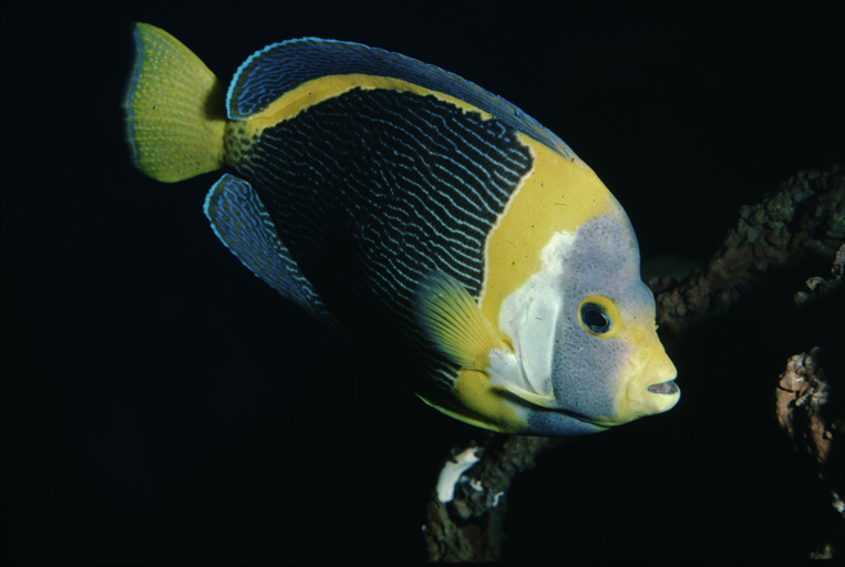 Image of Scribbled Angelfish