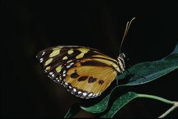 Image of <i>Tithorea tarricina</i> Hewitson 1857