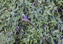 Image of White-headed Mousebird