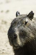 Image of Capybara