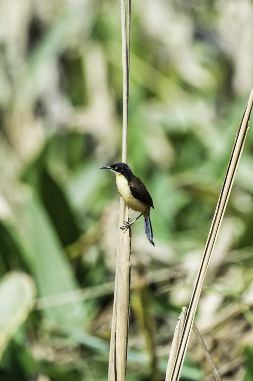 Image of Black-capped Donacobius