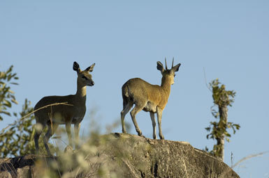 Image of Klipspringer