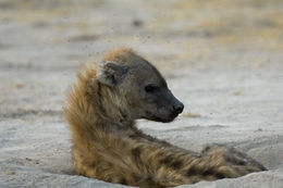 Image of Spotted Hyena