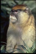 Image of patas monkey