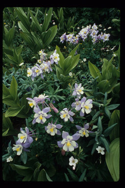 Image of Colorado blue columbine