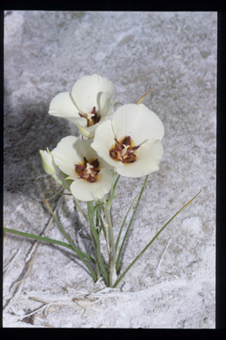 Image of Inyo County star-tulip