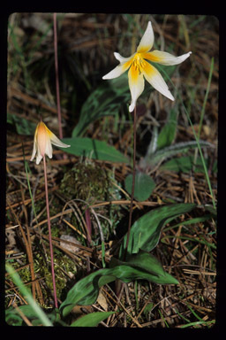 Image of Pacific fawnlily