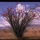 Image of ocotillo