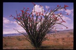 Image of ocotillo