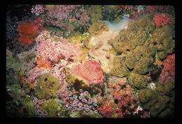 Image of Actinostola subgen. Urticina