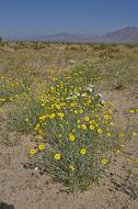 Image of desert marigold
