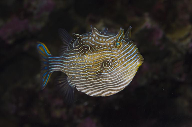 Image of Ornate cowfish