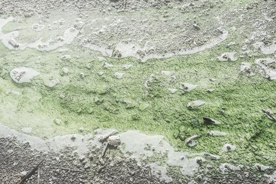 Image of <i>Cyanidium caldarium</i>