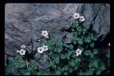 Image of Panamint phacelia