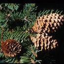 Image of Engelmann Spruce
