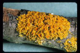 Image of orange wall lichen