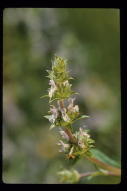 Image of black sage