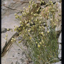 Image of <i>Eremogone macradenia</i> (S. Wats.) S. Ikonnikov