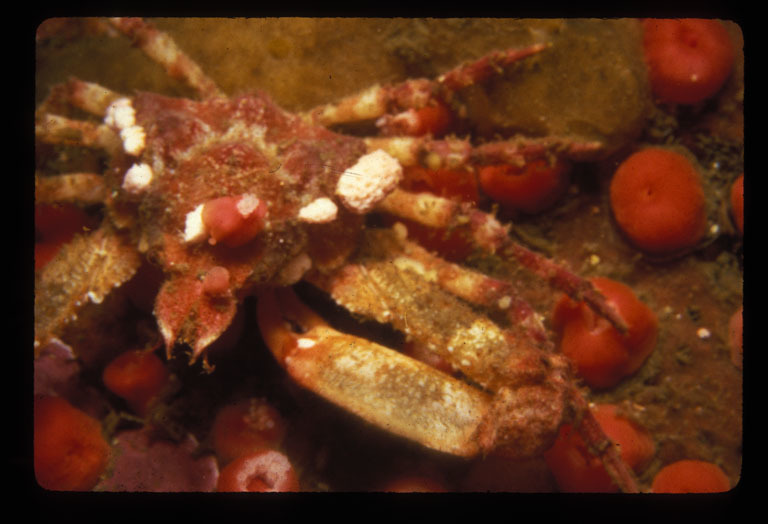 Image of sharp-nosed crab