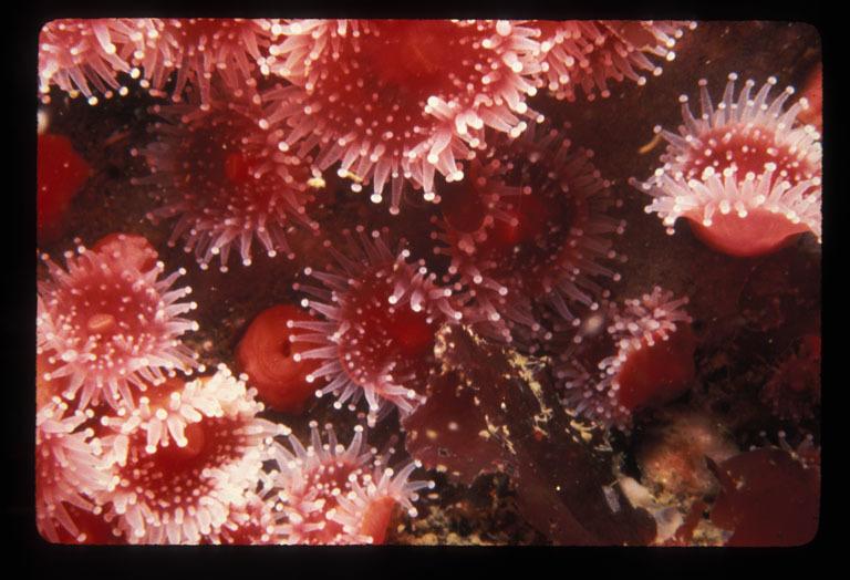 Image of Strawberry anemones