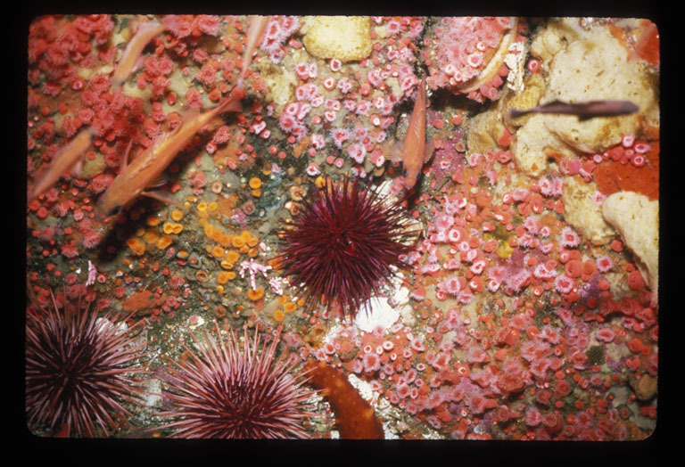 Image of Purple sea urchin