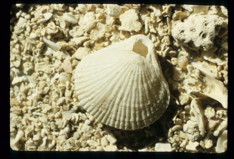 Image of <i>Terebratulina unguicula</i> (Carpenter 1864)