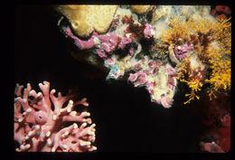 Image of <i>Armatobalanus nefrens</i> (Zullo 1963)