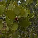 Image of <i>Maytenus octogona</i>