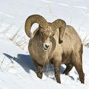 Image of bighorn sheep