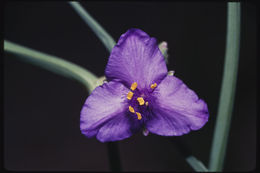 Image of prairie spiderwort