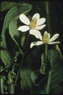 Image of yerba mansa