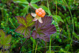 Image of cloudberry