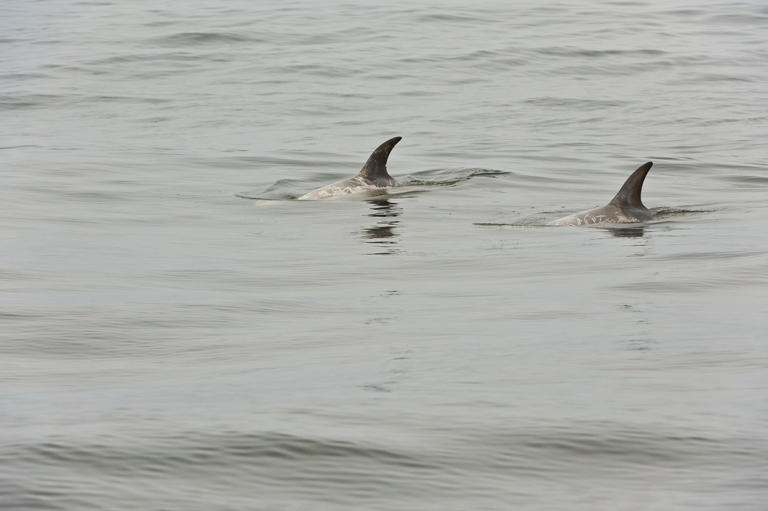 Image of Risso's dolphin