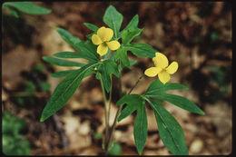 Image of pine violet
