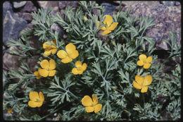 Image of little gold poppy