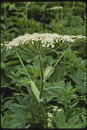 Image of American Cow-Parsnip