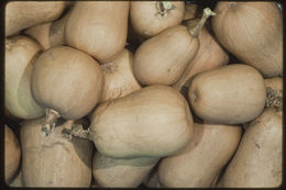 Image of Butternut Pumpkin