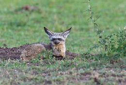 Image of Bat-eared fox
