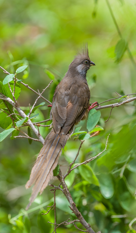 Image of Speckled Mousebird